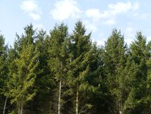 Pine trees in a forest Royalty Free Stock Photo