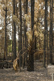 Pine trees after forest fire. Pine trees and woods blackened and damaged after a forest fire Stock Photo