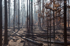 Pine Trees in Forest Fire Stock Photo