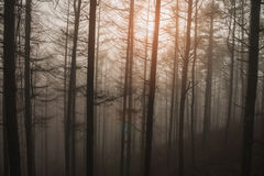 Pine trees forest with fog. Stock Image