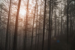 Pine trees forest with fog. Royalty Free Stock Photography