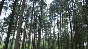 Pine trees in the forest. High pine trees grow in the autumn forest stock video