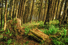 Pine Trees Forest. Inside a Pine Trees Forest Royalty Free Stock Image