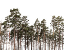 Pine trees forest isolated on white background. Silhouette photo Royalty Free Stock Images