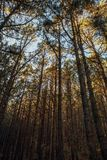 Pine trees in forest La Esperanza. At sunny day Royalty Free Stock Photography