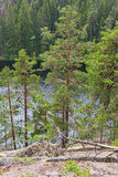 Pine trees at a forest lake Stock Photo
