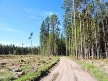 Pine trees forest, Lithuania Royalty Free Stock Photography