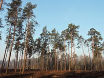 Pine trees forest, Lithuania Royalty Free Stock Photos