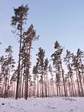 Pine trees forest, Lithuania Stock Images