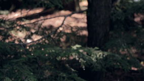 Pine trees in a forest long tilt stock video footage