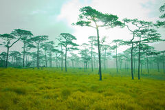Pine trees forest Stock Photo