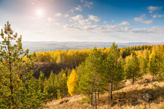 Pine trees in the forest in the mountains. Autumn landscape Stock Photo