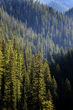 Pine Trees Forest Mountains Royalty Free Stock Photos