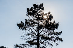 Pine trees of a forest in the mountains and the sun. Stock Image