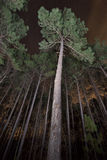 Pine Trees in a Forest at Night. A nighttime view looking upward at trees in a forest stock photos