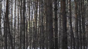 Pine trees in the forest. Panoram slide stock footage
