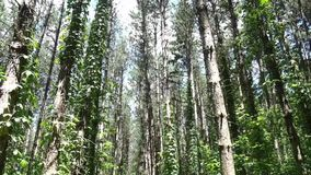 Pine trees in a forest stock footage