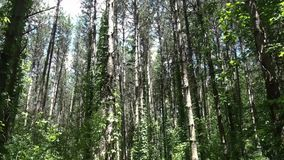 Pine trees in a forest stock video