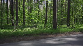 Pine trees in the forest. Road in the forest stock video footage