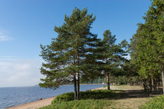 Pine trees forest Royalty Free Stock Photography