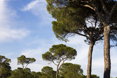 Pine trees. Forest in Spain Royalty Free Stock Images