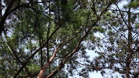 Pine trees in forest. At summer stock video