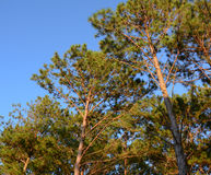 Pine trees in forest Stock Photo