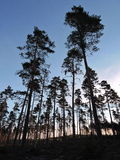 Pine trees forest in sunrise Stock Photos