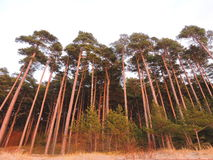 Pine trees forest in sunset colors , Lithuania Stock Photography