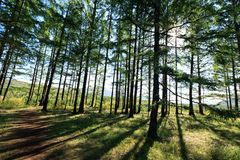 Pine trees forest Royalty Free Stock Photos