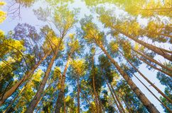 Pine trees. In forest view from below stock photography