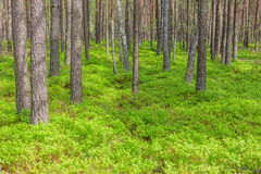 Pine trees in the forest wild nature landscape Stock Photo
