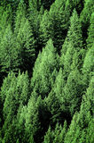 Pine Trees in Forest Wilderness for Conservation Stock Photo