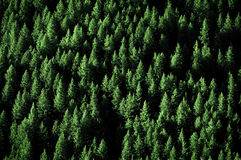 Pine Trees in Forest Wilderness for Conservation. Pine trees in lush green forest forrest wilderness for conservation Stock Photo