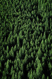 Pine Trees in Forest Wilderness for Conservation Stock Photography