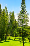 Pine trees forrest. Detail of pine trees forest in summer time Stock Photo