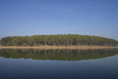 Pine trees. In the forrest Royalty Free Stock Photography