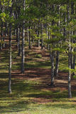 Pine trees. In the forrest Royalty Free Stock Image