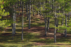 Pine trees. In the forrest Stock Image