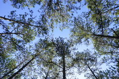 Pine trees. In the forrest Royalty Free Stock Photo