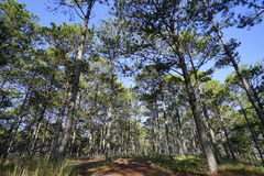 Pine trees. In the forrest Royalty Free Stock Photos