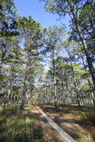 Pine trees. In the forrest Stock Images