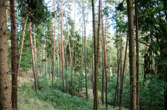 Pine trees in the forrest. Pine trees in the scary forrest Royalty Free Stock Photography