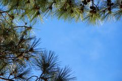 Pine trees framing the sky. Stock Photos