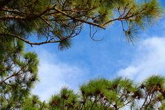 Pine trees framing the sky. Royalty Free Stock Photography
