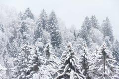 Pine trees fresh snow royalty free stock photos