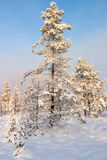 Pine trees with frost Stock Photo