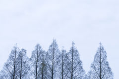 Pine trees. Frozen pine trees in winter stock images