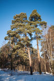 Pine trees in frozen winter forest Royalty Free Stock Photo