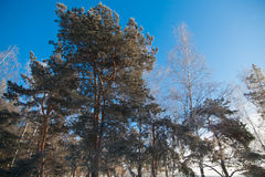 Pine trees in frozen winter forest Royalty Free Stock Images